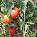トマト栽培 2019年